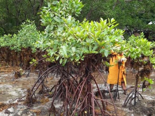 Villagers help plant mangrove saplings in the tidal mud