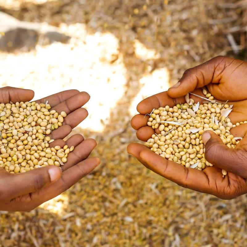 Two pairs of hands holding soya beans in Mokwa, Nigeria.