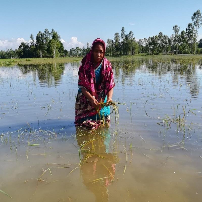 Bangladeshi farmer Tajnur Bugum surveys the damage to her crops.