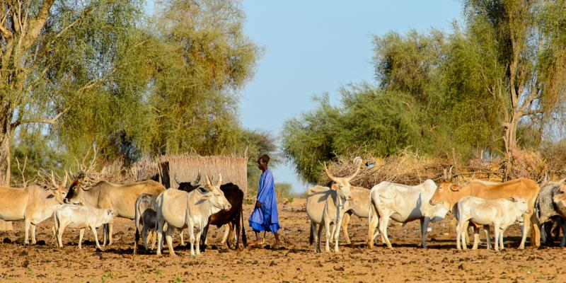 Fulani boy grazing cows in Ferlo desert, Senegal, 2017