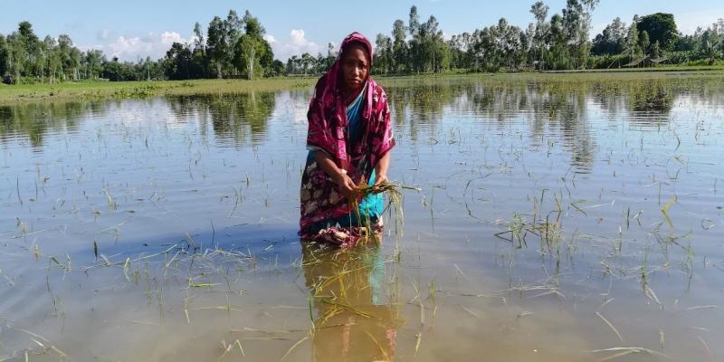 Bangladeshi farmer Tajnur Bugum surveys the damage to her crops.