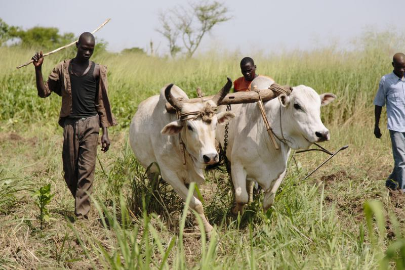 The Lacan Kow Lewet youth co-operative group drive their ox-drawn plough