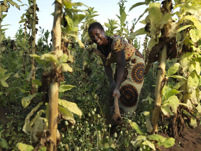 Woman farming tobacco in Malawi