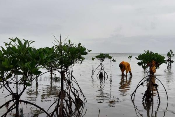 Land once stripped of mangroves now begins to flourish.